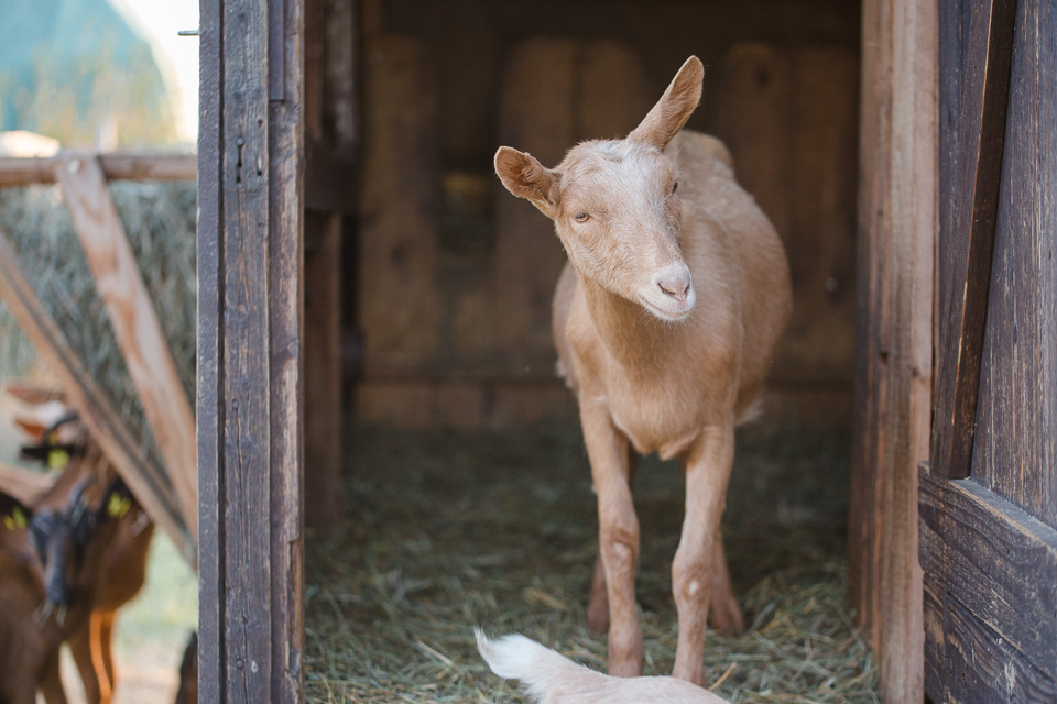 happy_goats-9